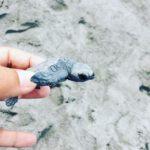 遠州浜でアカウミガメの放流。昨夜孵化したばかりで、グミのようにやわらかい。防潮堤ですっかり風景は変わったけど、元気に戻って来てくれますよーに#アカウミガメ #遠州浜 (Instagram)
