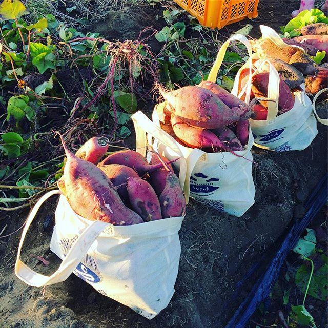 強風の中、うなぎいも掘り。15kgほどは収穫。しばらく新聞紙に包んで甘さを引き出す。やっぱり焼き芋かなぁー。#うなぎいも #いもほり #浜松 #浜松市南区 (Instagram)